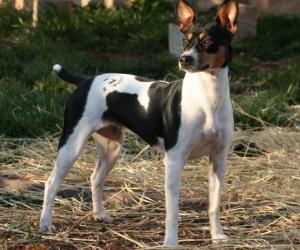 Rat Terrier, American Rat Terrier
