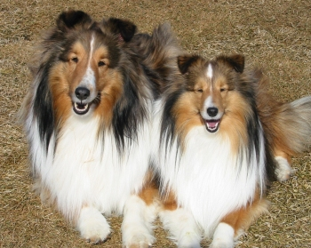 Shetland Sheepdogs